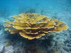 Acropora_palmata,_USGS