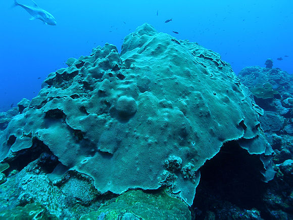 Corail Orbicella